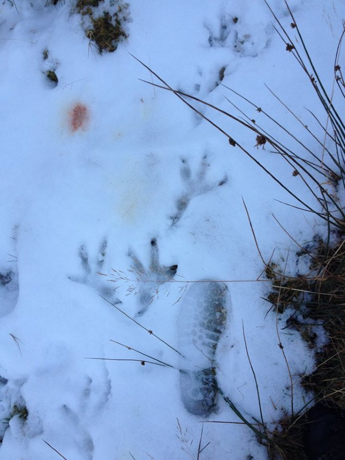Footprints in the snow on Leckmelm Estate - Golden Eagle